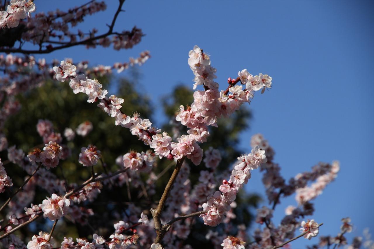 Luumun kukkia Isessä